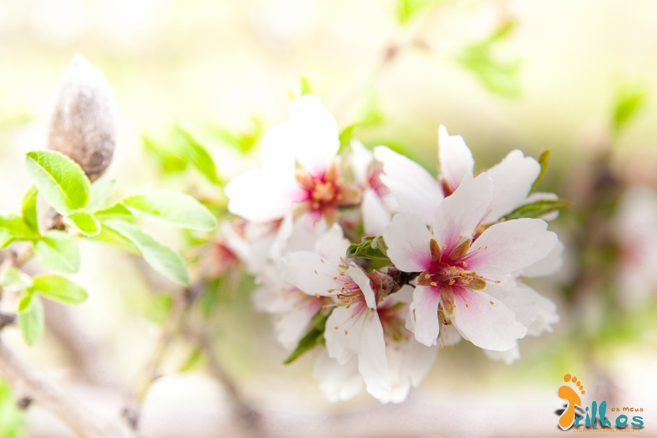 amendoeiras em flor-1-5