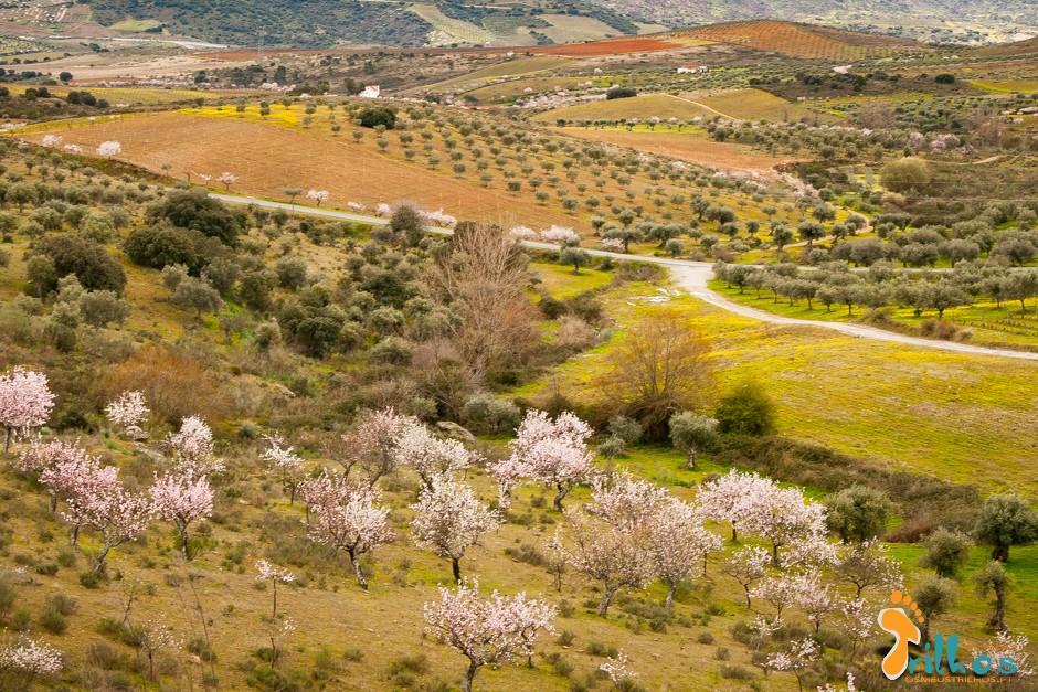 amendoeiras em flor-1