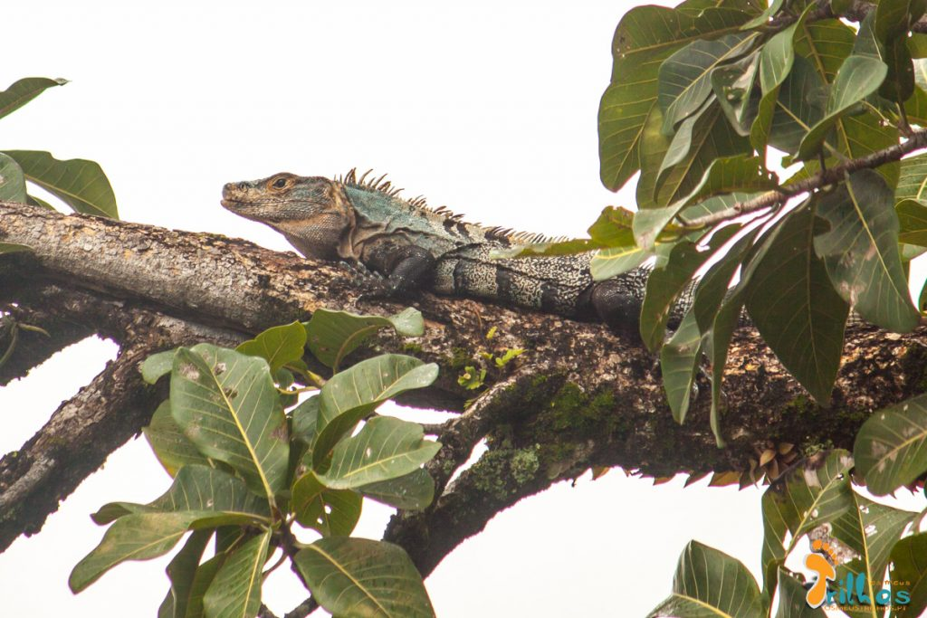 Iguana Negra - Parque Natural Manuel Antonio