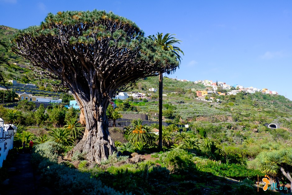 Tenerife.DragoMilenario.OsMeusTrilhos-1.jpg